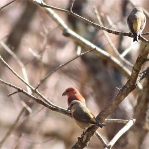 イスカの群れ, Common Crossbill