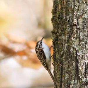 キバシリ, Treecreeper