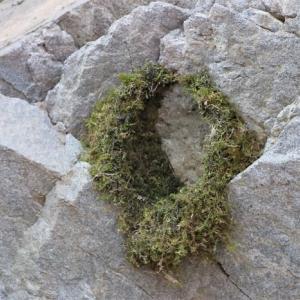 カワガラスの巣