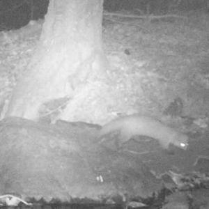 動物調査:テン(?)&ニホンジカ&アオサギ