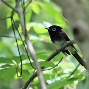 サンコウチョウ, Japanese Paradise Flycatcher
