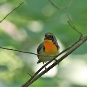 キビタキ若鳥/シジュウカラ幼鳥