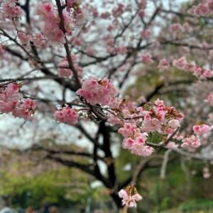 上野公園の桜とドンレミー