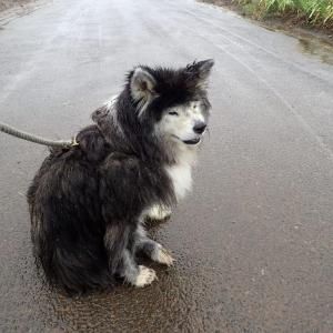 雨の待ち犬