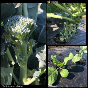 秋冬野菜の植え付け