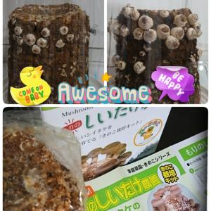 Shiitake mushroom cultivation ①