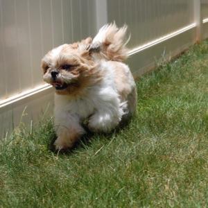ハワイで犬と暮らす グランマりかです