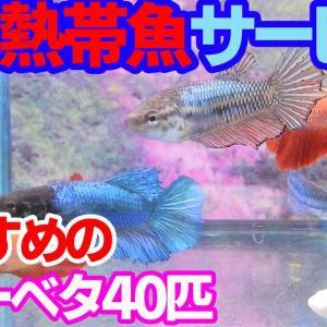 高知熱帯魚サービスおすすめのショーベタメス40匹