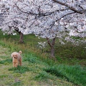 モモとお花見散歩