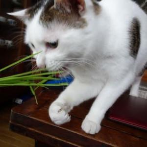 マロは猫草独り占め
