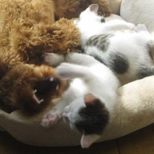 モモは仔猫と団子寝する