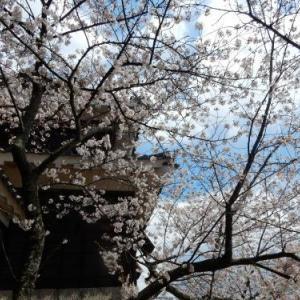 松山城・太鼓門前の桜
