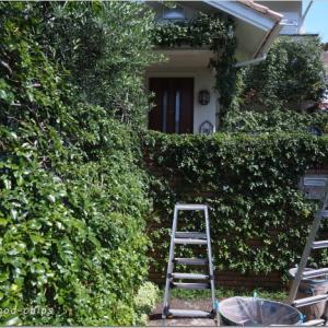 バラの枝を整える作業。 横浜市青葉区のガーデンより