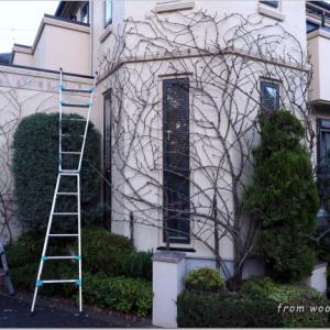 バラの剪定と壁面への誘引作業。 武蔵野市のガーデンより