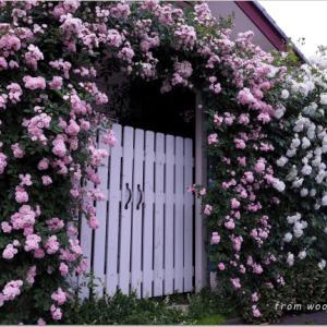 バラを楽しむ庭づくり、春の風景。7つの空間より #29
