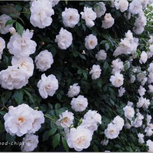 バラを楽しむ庭づくり、春の風景。7つの空間より #31