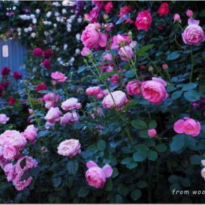バラを楽しむ庭づくり、春の風景。7つの空間より #33
