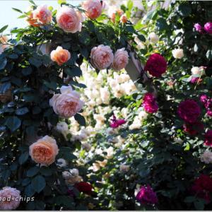 バラを楽しむ庭づくり、春の風景。7つの空間より #34