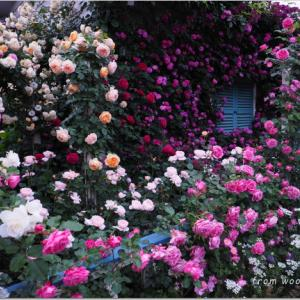 バラを楽しむ庭づくり、春の風景。7つの空間より #37