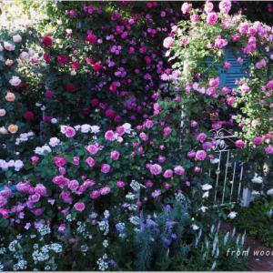 バラを楽しむ庭づくり、春の風景。7つの空間より #38