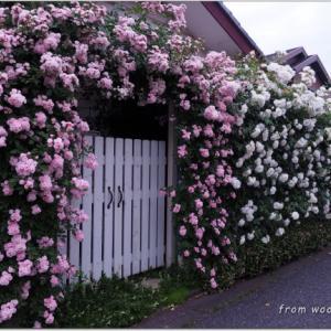 バラを楽しむ庭づくり、春の風景。7つの空間より #49