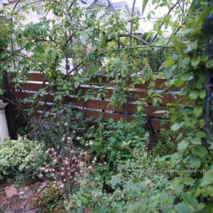 バラの手入れとカミキリムシの幼虫退治・夏の管理作業。 青葉区のガーデンより