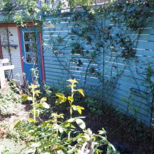 バラの管理とフェンスの塗り替え。