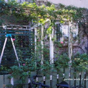 バラの庭仕事、カミキリムシの幼虫退治。 国立市のガーデンより