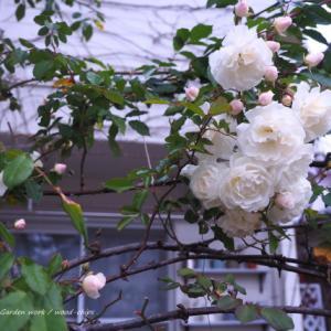 つるバラの剪定と壁面への誘引作業(前半)。 横浜市青葉区のガーデンより