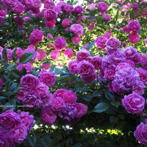 バラを楽しむ庭づくり、春の風景。7つの空間より #80