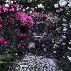 バラを楽しむ庭づくり、春の風景。7つの空間より #82