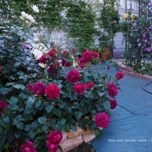 薔薇のアーチと白いフェンス。バラの庭づくり・杉並区のガーデンより