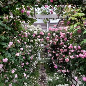 バラと庭、夏の管理作業・入間市のガーデンより