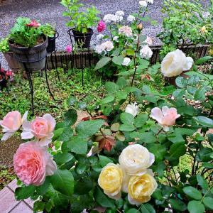 我が家のバラたち