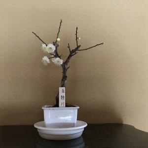 玉牡丹の花が咲く。
