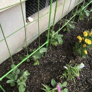 アサガオの苗を植えます。