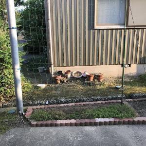 庭作り69春夏花壇④・・アサガオ観察②