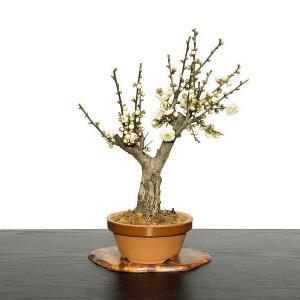枯れ盆栽にかわいいお花・・・。