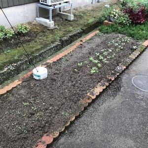庭作り96細長い畑⑧・・芽が出てきました。