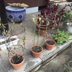 庭作り97玄関前エリア⑥・・アサガオ鉢終了。