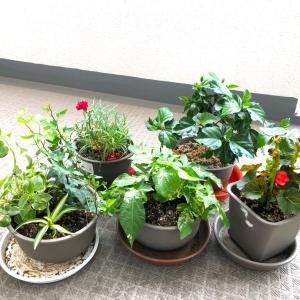 ●ベランダの植物その後(#^^#)