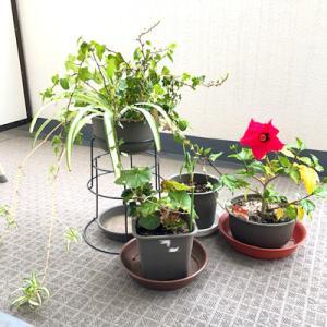 ●ベランダの植物その後のその後(#^^#)
