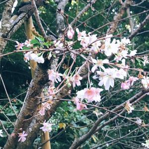 『菊の季節に桜が満開』?