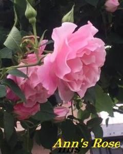 Ann's Rose~スパニッシュビューティー&コーヴェディル~