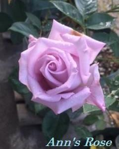 Ann's Rose~ブルームーン&ドルトムント~