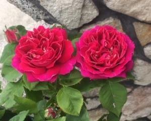 Ann's Rose~バロンジロードラン&ハニーディジョン~