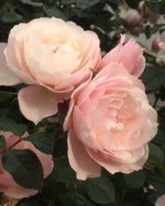 Ann's Rose ~ジェネラスガーデナー~