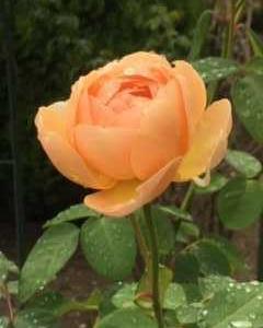 Ann's Autumu Rose・1