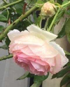 Ann's Autum Rose・2
