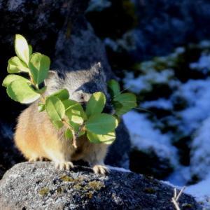 初冬のガレ場に生きる・・ナキウサギとタヌキ